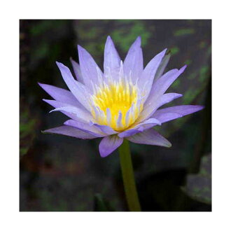 Biotope, Lily tropical water lily (Nymphaea) (blue) star of Siam (1 pot)