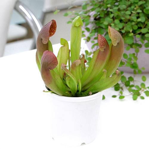 (食虫植物)サラセニア スワニアナ 3号(1ポット)
