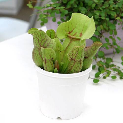 (食虫植物)サラセニア プルプレアssp.ベノーサ 3号(1ポット)