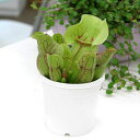 食虫植物 サラセニア プルプレア ベノーサ