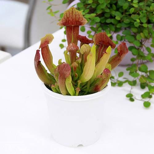 (食虫植物)サラセニア ミッチェリアナ 3号(1ポット)