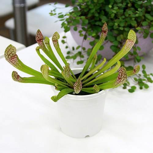(食虫植物)サラセニア スカーレットベル 3号(1ポット)