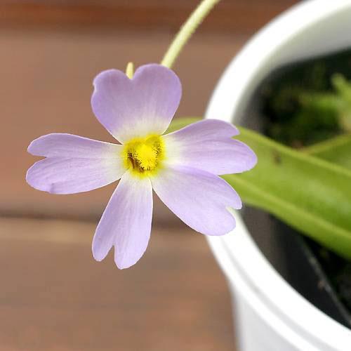 (食虫植物)ムシトリスミレ ピンギキュラ プリムリフローラ 3号(1ポット)