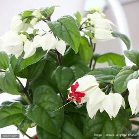 (観葉植物)ゲンペイボク(源平木) 4号(1鉢)