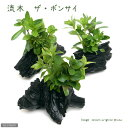 (水草)流木 ザ ボンサイ Sサイズ(水上葉)(無農薬)(1本)(約15cm)