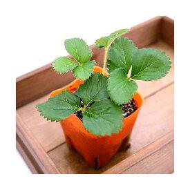 (観葉植物)デルモンテ 野菜苗 イチゴ めちゃデカッ!いちご(四季成り) 3号(1ポット) 家庭菜園