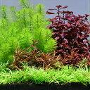 (水草)おまかせ水上葉 レイアウトセット 20cm水槽用 4種(無農薬)(1パック)(水草説明書付) 北海道航空便要…