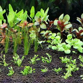 (水草)おまかせ水上葉 レイアウトセット 30cm水槽用 6種(無農薬)(1パック)(水草説明書付)