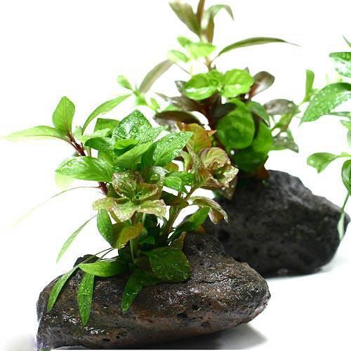 (水草 熱帯魚)Plants Arrangement ザ ボンサイ(無農薬)(1個)