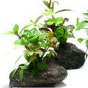 (水草)Plants Arrangement ザ ボンサイ(無農薬)(1個) 熱帯魚