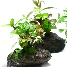 (水草)Plants Arrangement ザ ボンサイ(無農薬)(1個)