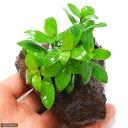 (水草)ハイグロフィラ ポリスペルマ(水上葉) 穴あき溶岩石付(無農薬)(1個)