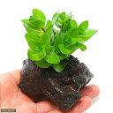(水草)ウォーターバコパ(水上葉) 穴あき溶岩石付(無農薬)(1個)