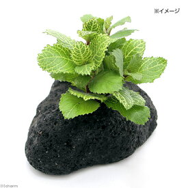 (水草)ホワイトウォーターウィステリア(水上葉) 穴あき溶岩石付(無農薬)(1個)