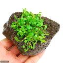 (水草)グロッソスティグマ(水上葉) 穴あき溶岩石付(無農薬)(1個)