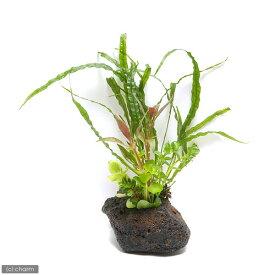 (水草)Plants Arrangement ザ ボンサイ Ver.おまかせミクロソリウム(1個) 熱帯魚