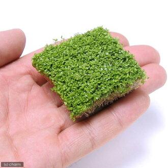 (水生植物) 古巴珍珠玻璃 (浮叶) 多维数据集大小 (4 厘米) (无农药) (1)