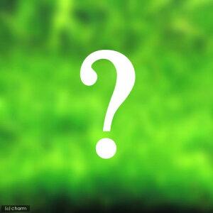 (水草)おまかせ前景草(水上葉)3種セット(無農薬)(1パック)