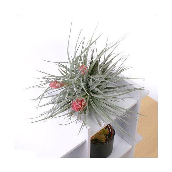 (観葉植物)エアープランツ ティランジア コットンキャンディ ピンク クランプ(1株)