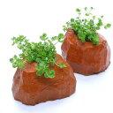 (水草)ラージパールグラス(水上葉) ゼオライト付き(無農薬)(1個)