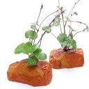 (水草)アマゾンチドメグサ(水上葉) ゼオライト付(無農薬)(1個)