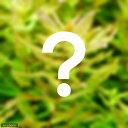 (水草)おまかせロタラ(水上葉) 2種×5本セット(無農薬)(計10本) 熱帯魚