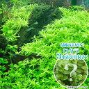 (水草)グリーンロタラ(無農薬)(5本)+おまけロタラ3本