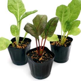 (観葉植物)野菜苗 スイスチャード ミックスカラー 3号(3ポット) 家庭菜園