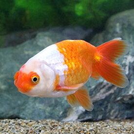 (国産金魚)大阪らんちゅう 4〜6cm(1匹)