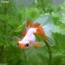 (国産金魚)リボンテール蝶尾(1匹)