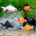 (国産金魚)よりなし(無選別) 出目金ミックス(6匹)