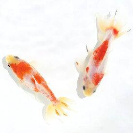 (国産金魚)桜和金 志村養魚場産(3匹)