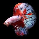 (熱帯魚)一点物 ベタ・ハーフムーン レッド&ブルー ドラゴンマーブル オス(1匹) 北海道・九州航空便要保温…