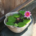 国産 手作り睡蓮鉢 益子焼 彩(SAI) 花型 古信楽 白鏡 直径約38cm ビオトープ 関東当日便