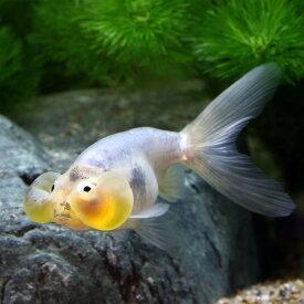 (金魚)一点物 浅葱水泡眼(中国産)(1匹)