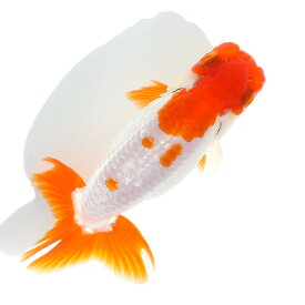 (国産金魚)一点物 ランチュウ 10cm±(1匹) 沖縄別途送料