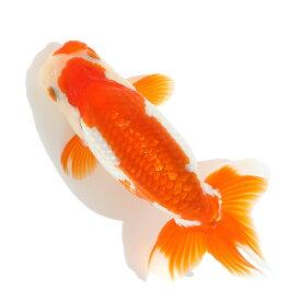 (国産金魚)一点物 ランチュウ 12cm±(1匹) 沖縄別途送料