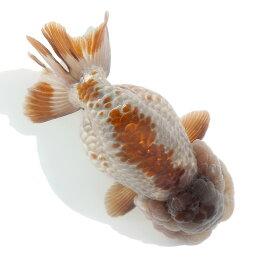 (金魚)一点物 メノウらんちゅう(中国産)10cm±(1匹) 沖縄別途送料 北海道航空便要保温