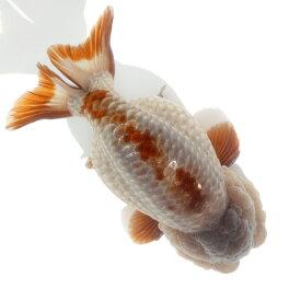 (金魚)一点物 メノウらんちゅう(中国産)11cm±(1匹) 沖縄別途送料 北海道航空便要保温