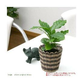 (観葉植物)コーヒーの木 3号(1ポット) 北海道冬季発送不可