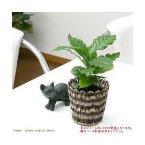 (観葉植物)コーヒーの木 3号(1ポット)
