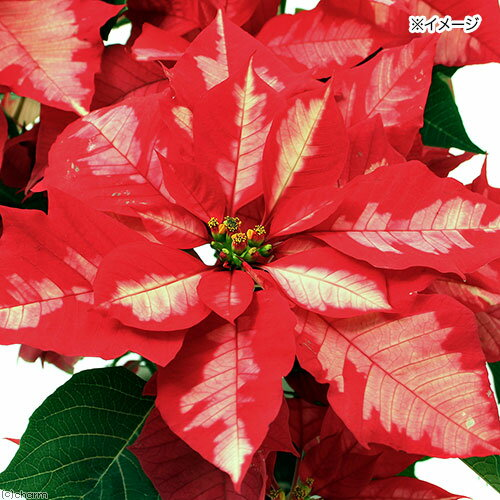 (観葉植物)ポインセチア アイスパンチ 5号(1鉢) クリスマス