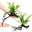 (水草)おまかせミクロソリウム付 枝状流木 Mサイズ(約25〜30cm)(無農薬)(1本)