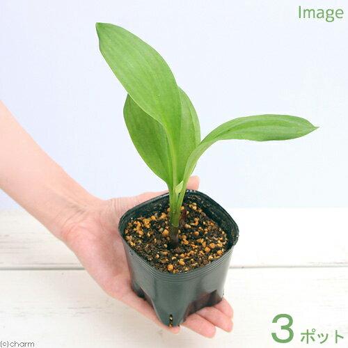 (山野草)ギョウジャニンニク(行者葫) 4号 3ポット 山菜 家庭菜園