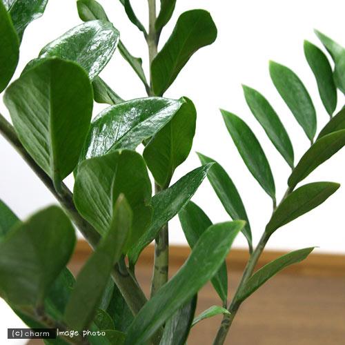 (観葉植物)ザミオクルカス 6号(1鉢)