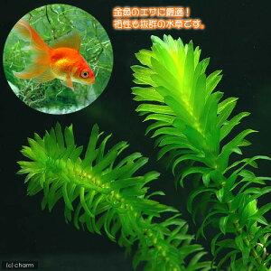 (水草)メダカ・金魚藻 エサ用アナカリス(10本)