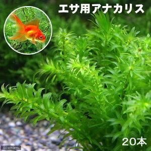 (水草)メダカ・金魚藻 エサ用アナカリス(20本)