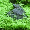 (水草)オーストラリアン ノチドメ(無農薬)(10本)
