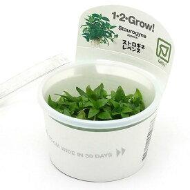 (水草)組織培養1−2−GROW! ストロギネ レペンス(液体培地) トロピカ製(無農薬)(1カップ)
