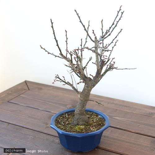 (盆栽)梅 タマボタン(玉牡丹) 5号(1鉢)
